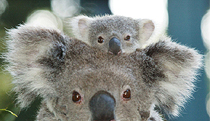 Billabong Koala and Wildlife Park - Accommodation Brisbane